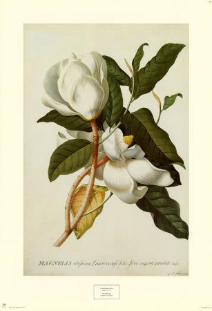 georg-dionysius-ehret-magnolia-altissima