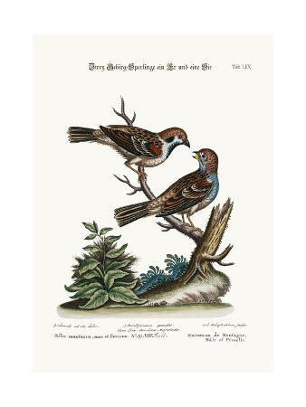 george-edwards-mountain-sparrows-cock-and-hen-1749-73