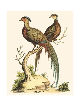george-edwards-small-regal-pheasants-ii