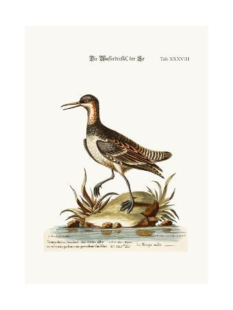 george-edwards-the-cock-coot-footed-tringa-1749-73