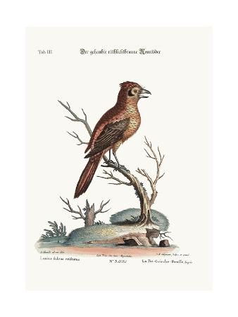 george-edwards-the-crested-red-or-russit-butcher-bird-1749-73