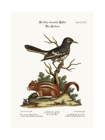 george-edwards-the-little-indian-pye-the-ground-squirrel-1749-73