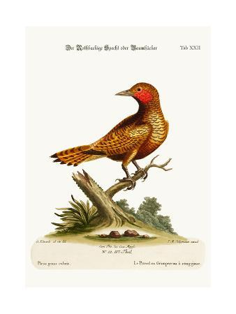 george-edwards-the-red-cheeked-woodpecker-1749-73