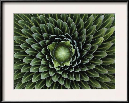 george-f-mobley-a-giant-lobelia-plant-lobelia-telekii