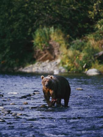 george-f-mobley-a-kodiak-brown-bear-hunts-for-fish