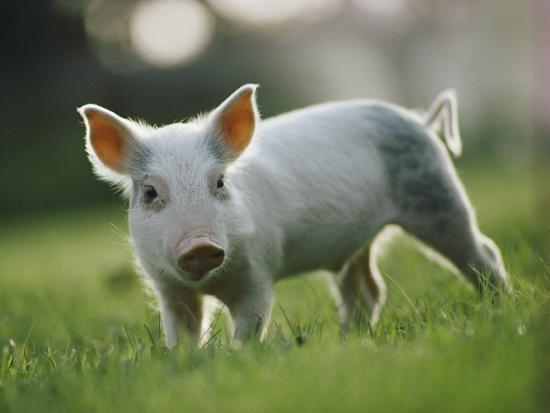 george-f-mobley-close-view-of-a-young-pig