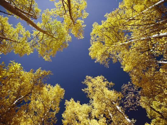 george-f-mobley-view-straight-up-at-the-sky-through-a-golden-canopy-of-aspen-trees