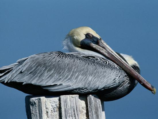 george-grall-a-brown-pelican-resting-on-a-post