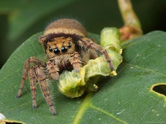 george-grall-a-jumping-spider-phidippus-species-feeding-on-a-caterpillar