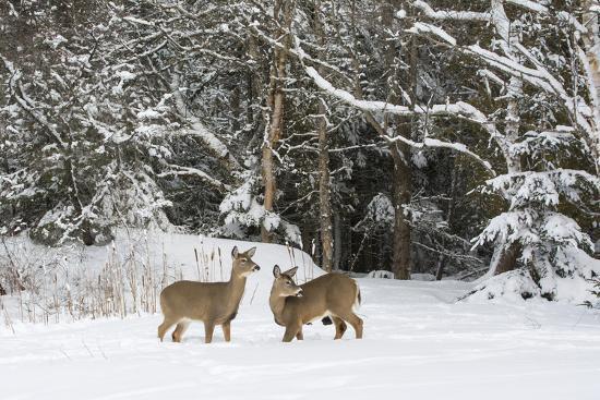 george-sanker-white-tailed-deer-odocoileus-virginianus-in-snow-acadia-national-park-maine-usa-february