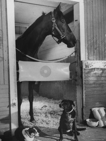 george-silk-horse-of-the-year-kelso-standing-in-his-stall