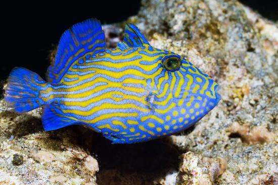 georgette-douwma-blue-triggerfish