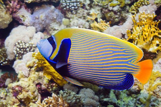 georgette-douwma-emperor-angelfish