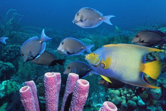 georgette-douwma-queen-angelfish-and-blue-tangs