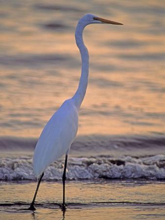 georgienne-bradley-great-egret