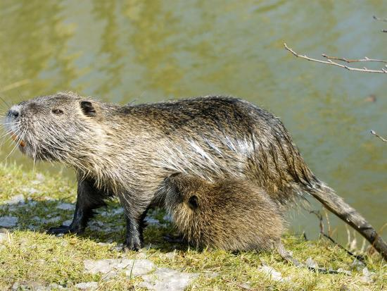 gerard-soury-coypu-or-nutria-female-with-young-suckling-france