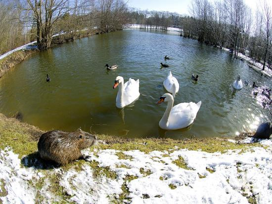 gerard-soury-coypu-or-nutria-lakeside-with-swans-france