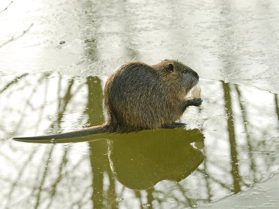 gerard-soury-coypu-or-nutria-on-frozen-river-feeding-france