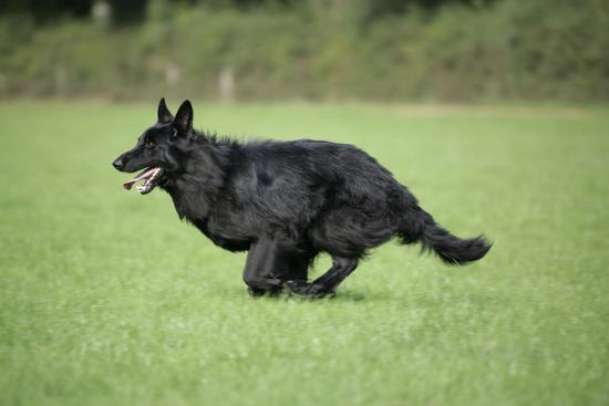 german-shepherd-dog-running-in-field
