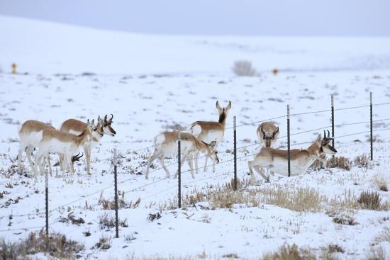 gerrit-vyn-pronghorns-antilocapra-americana-crawling-under-fence-in-snow-during-migration