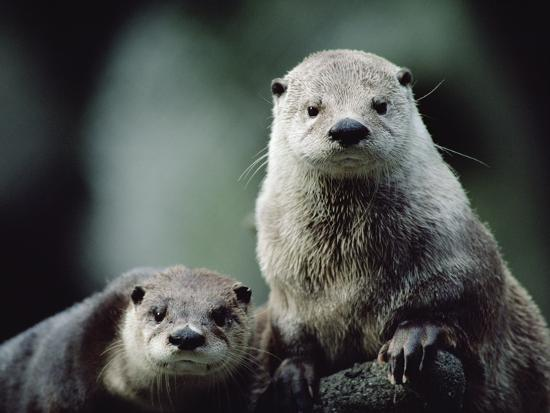 gerry-ellis-river-otter-lutra-canadensis-pair-north-america