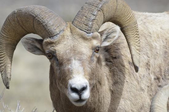 gerry-reynolds-bighorn-ram-bighorn-sheep-yellowstone-national-park-wyoming-usa