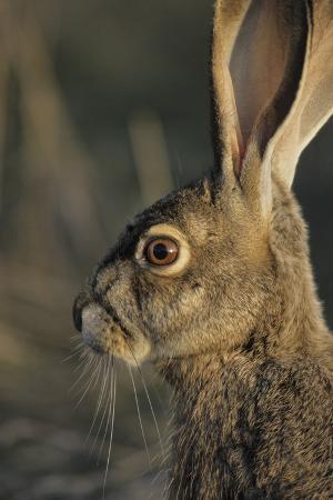 gerry-reynolds-black-tailed-jackrabbit-wildlife-usa