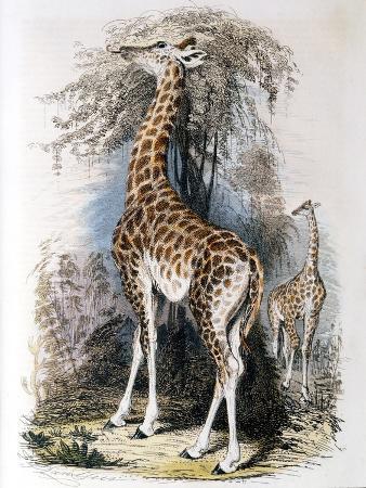 giraffe-browsing-on-a-tree-1836