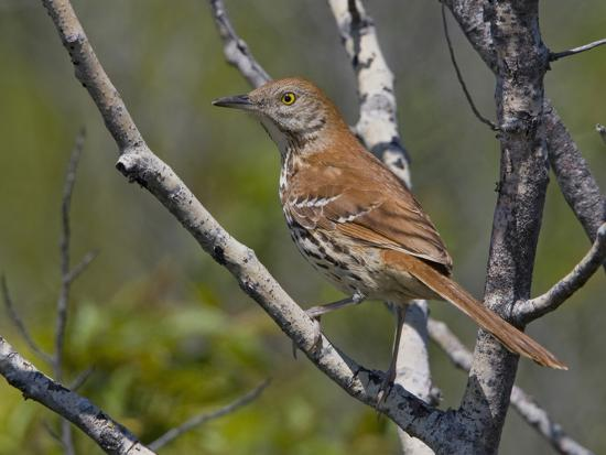 glenn-bartley-brown-thrasher-toxostoma-rufum-perched-on-a-branch-toronto-ontario-canada