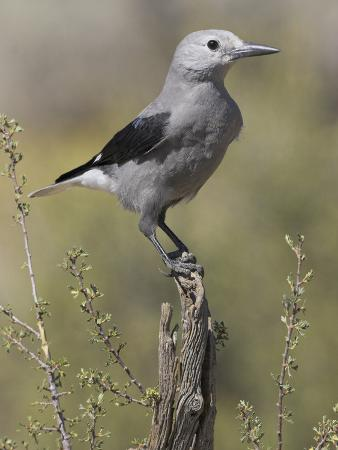 glenn-bartley-clark-s-nutcracker-nucifraga-columbiana-perched-on-a-branch-in-oregon-usa