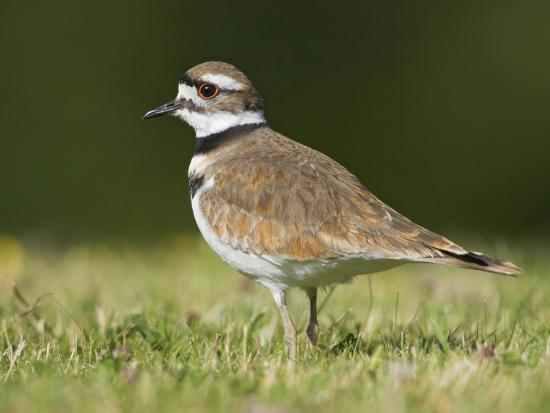 glenn-bartley-killdeer-charadrius-vociferus-in-the-grass-in-victoria-british-columbia-canada