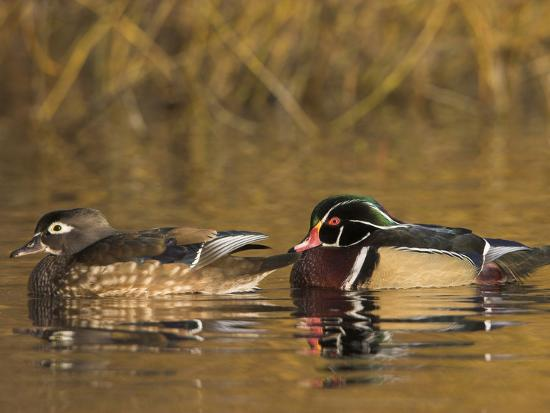 glenn-bartley-wood-duck-pair-aix-sponsa-swimming-on-a-pond-north-america
