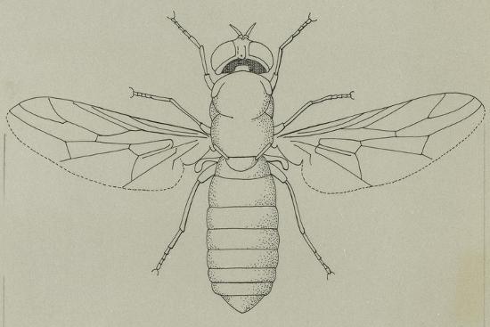 glittering-green-fly-poecilobothrus-nobilitatus-diptera
