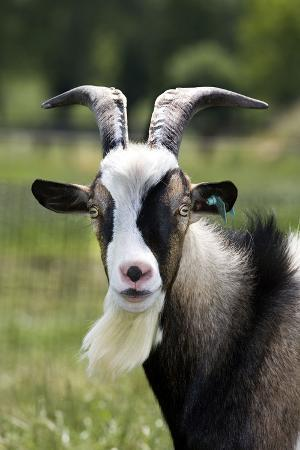 goat-close-up-head-in-meadow