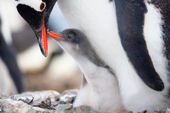 goinyk-penguins-nest