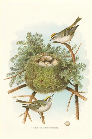 golden-crowned-kinglet-nest-and-eggs