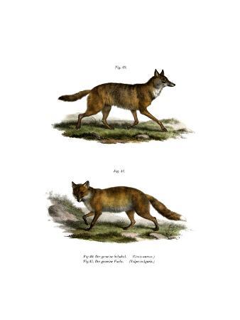 golden-jackal-1860