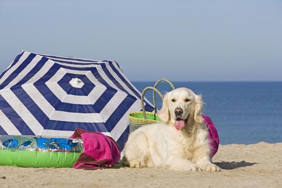 golden-retriever-on-the-beach