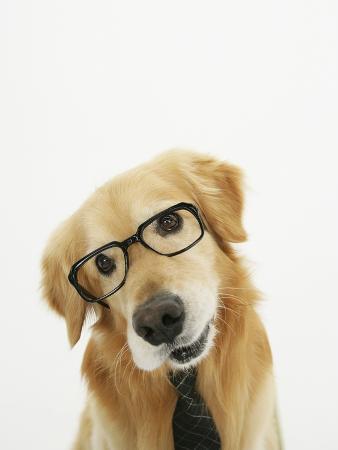 golden-retriever-wearing-eyeglasses-and-necktie