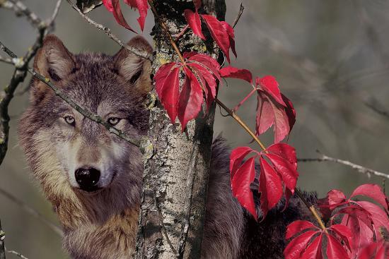 gordon-semmens-autumn-wolf