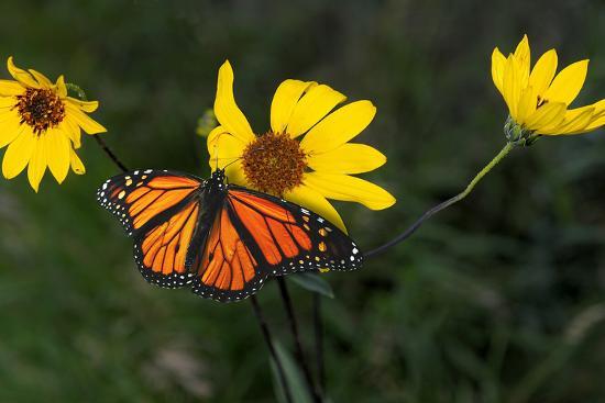 gordon-semmens-monarch-1