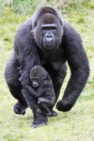 gorilla-female-carrying-baby-animal