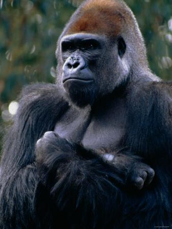 gorilla-sitting-with-arms-crossed-over-his-chest