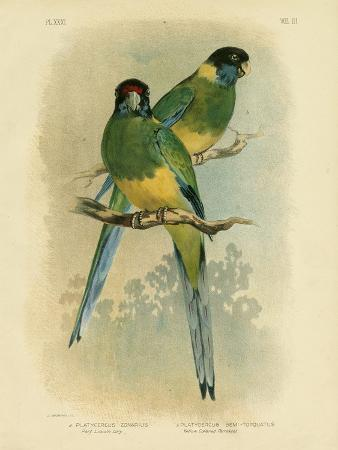 gracius-broinowski-bauer-s-parakeet-or-port-lincoln-lory-1891