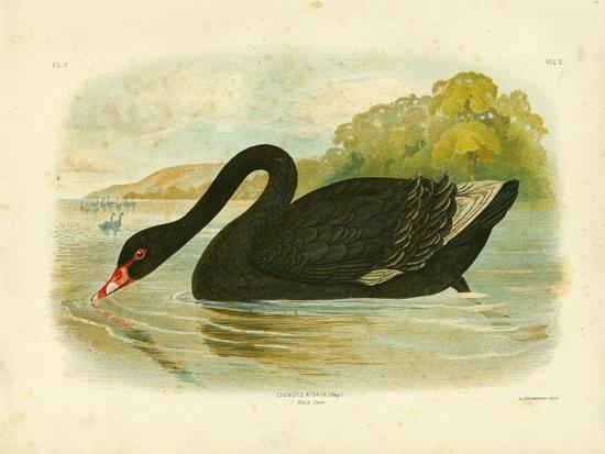 gracius-broinowski-black-swan-1891