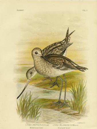 gracius-broinowski-black-tailed-godwit-1891