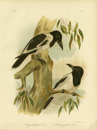 gracius-broinowski-black-throated-crow-shrike-1891