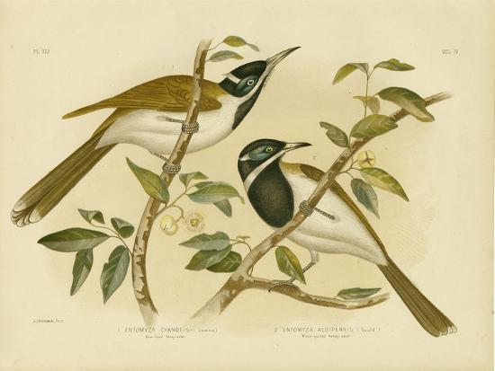 gracius-broinowski-blue-faced-honeyeater-1891