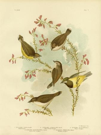 gracius-broinowski-brown-gerygone-1891