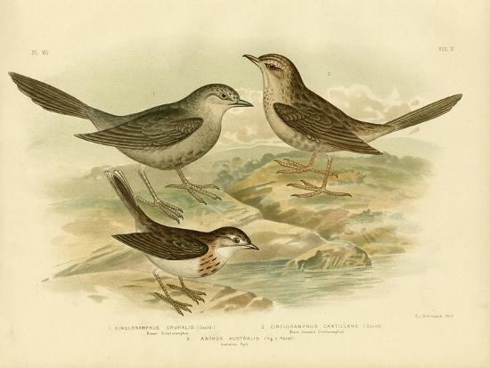 gracius-broinowski-brown-songlark-1891